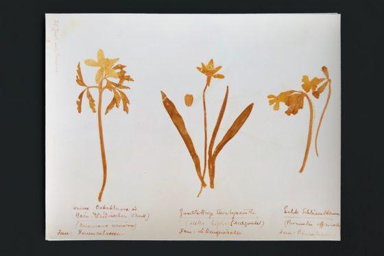 plant uit herbarium Roza Luxemburg-560x373